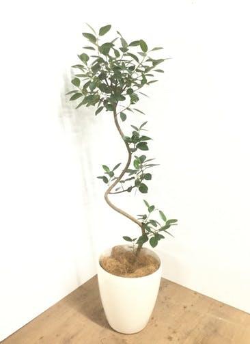 観葉植物 【120cm】【鉢カバー付】フランスゴムの木 7号 曲り #22033