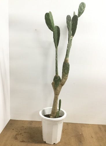 観葉植物 【160cm】ウチワサボテン 10号 #22039