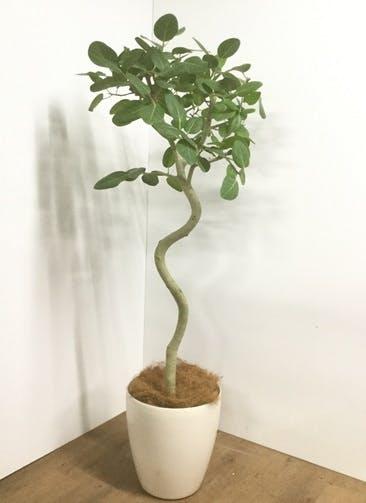 観葉植物 【170cm】【鉢カバー付】フィカス ベンガレンシス 10号 曲り #22046