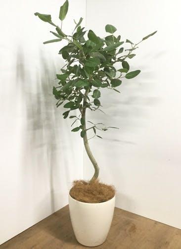 観葉植物 【175cm】【鉢カバー付】フィカス ベンガレンシス 10号 #22051