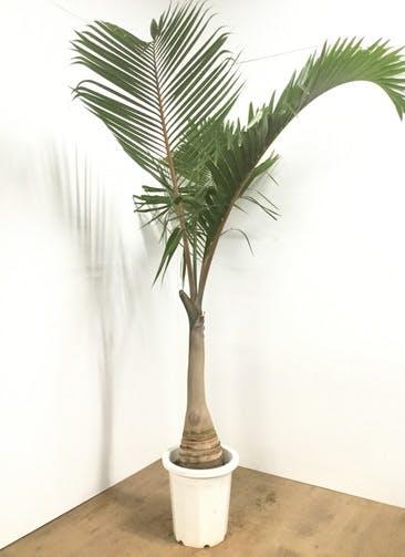 観葉植物 【1都3県 限定配送】 【200cm】トックリヤシ 10号 #22097