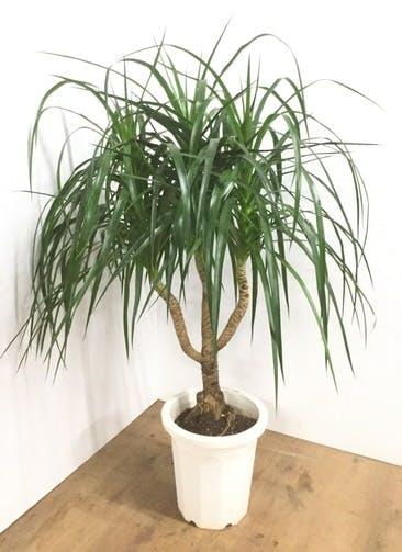 観葉植物 【130cm】ドラセナ カンボジアーナ 10号 #22100
