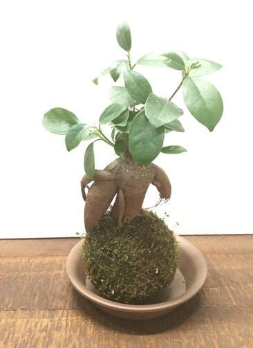 観葉植物 【20cm】ガジュマル 苔玉 #22123