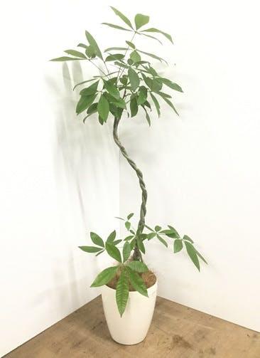 観葉植物 【145cm】【鉢カバー付】パキラ 7号 ねじり #22144