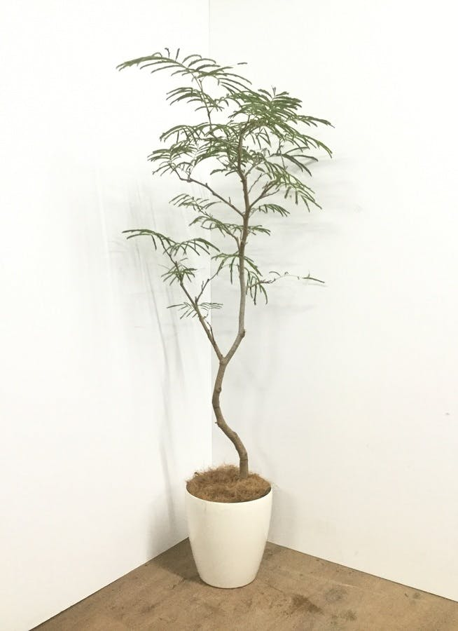 観葉植物 【160cm】【鉢カバー付】エバーフレッシュ 8号 曲り #22146