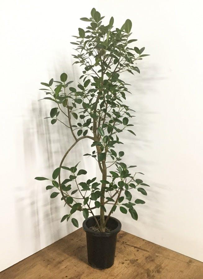 観葉植物 【155cm】フランスゴムの木 8号 曲り #22157