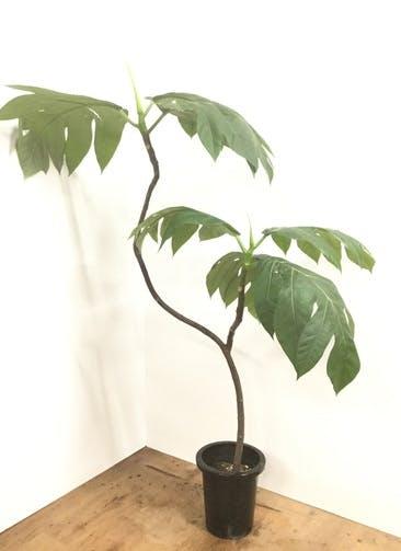 観葉植物 【160cm】パンの木 8号 曲り #22164