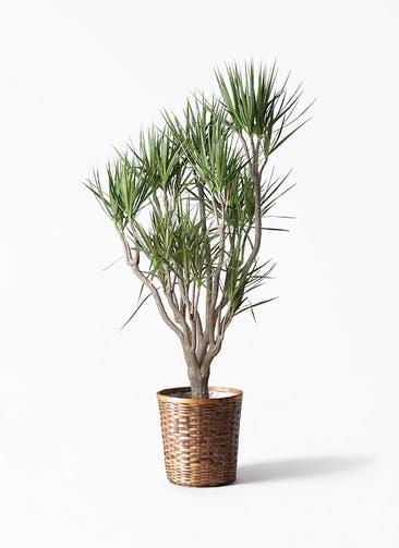 観葉植物 ドラセナ コンシンネ 10号 一本立ち 竹バスケット 付き