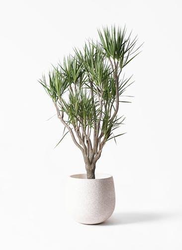 観葉植物 ドラセナ コンシンネ 10号 一本立ち エコストーンwhite 付き
