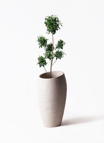 観葉植物 フィカス ナナ 7号 ボサチラシ エコストーントールタイプ Light Gray 付き