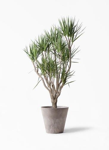 観葉植物 ドラセナ コンシンネ 10号 一本立ち アートストーン ラウンド グレー 付き