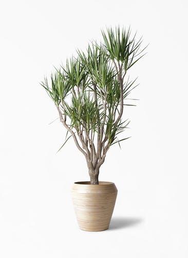 観葉植物 ドラセナ コンシンネ 10号 一本立ち アルマ ミドル 付き