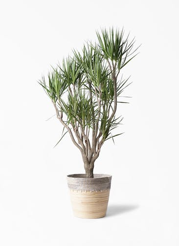 観葉植物 ドラセナ コンシンネ 10号 一本立ち アルマ コニック 白 付き
