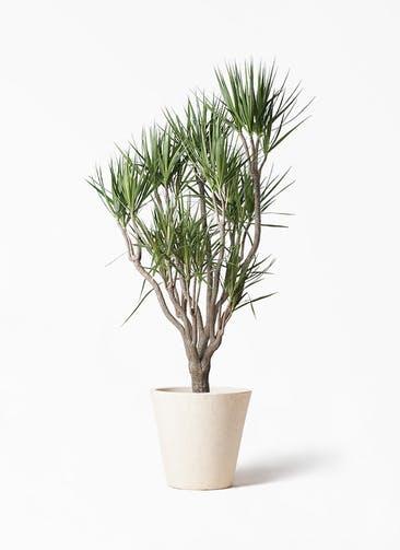 観葉植物 ドラセナ コンシンネ 10号 一本立ち フォリオソリッド クリーム 付き