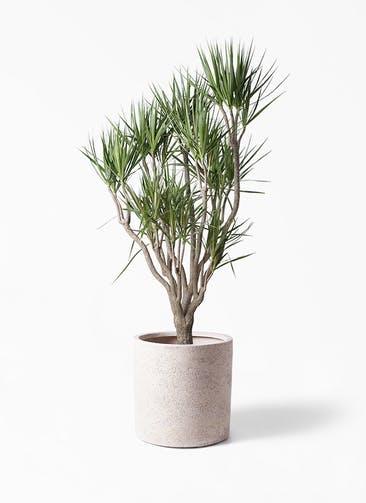観葉植物 ドラセナ コンシンネ 10号 一本立ち サンディ シリンダー 白 付き