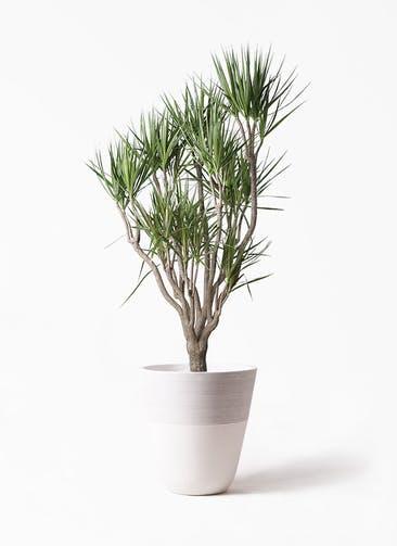 観葉植物 ドラセナ コンシンネ 10号 一本立ち ジュピター 白 付き
