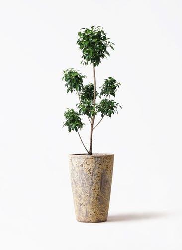 観葉植物 フィカス ナナ 7号 ボサチラシ アトランティス クルーシブル 付き