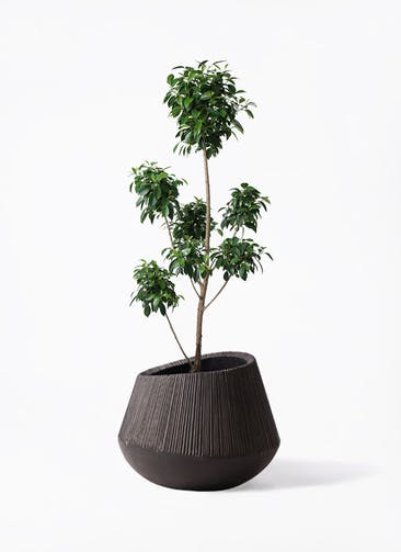 観葉植物 フィカス ナナ 7号 ボサチラシ エディラウンド 黒 付き