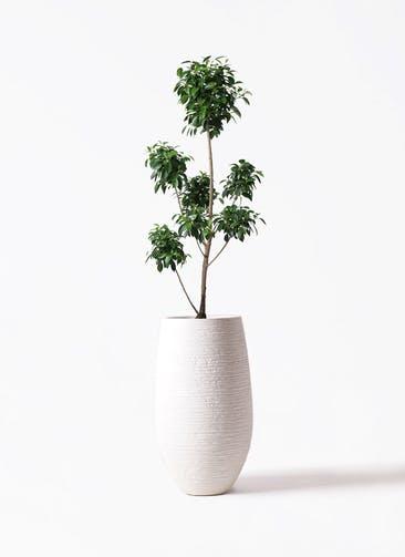 観葉植物 フィカス ナナ 7号 ボサチラシ フォンティーヌトール 白 付き