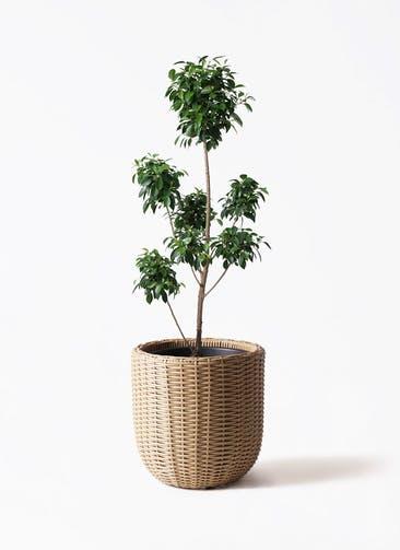 観葉植物 フィカス ナナ 7号 ボサチラシ ウィッカーポットエッグ ベージュ 付き
