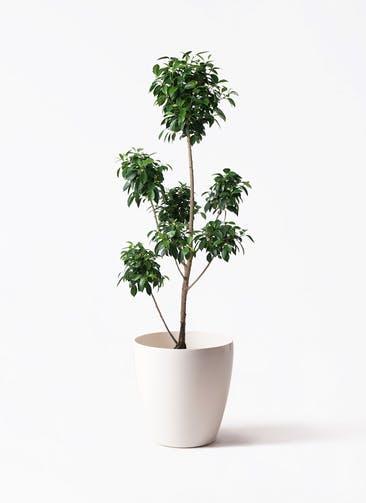 観葉植物 フィカス ナナ 7号 ボサチラシ ラスターポット 付き