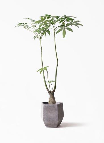 観葉植物 パキラ 8号 パラソル ファイバークレイ Gray 付き