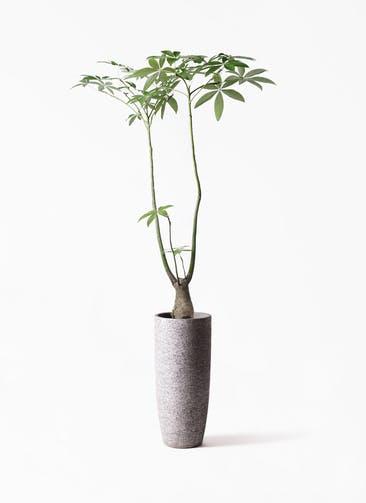 観葉植物 パキラ 8号 パラソル エコストーントールタイプ Gray 付き