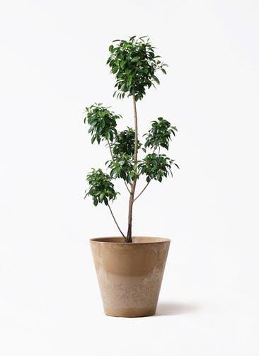 観葉植物 フィカス ナナ 7号 ボサチラシ アートストーン ラウンド ベージュ 付き