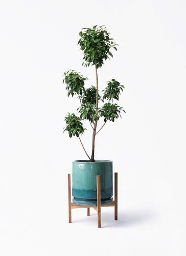 観葉植物 フィカス ナナ 7号 ボサチラシ ビトロ エンデガ ターコイズ ウッドポットスタンド付き