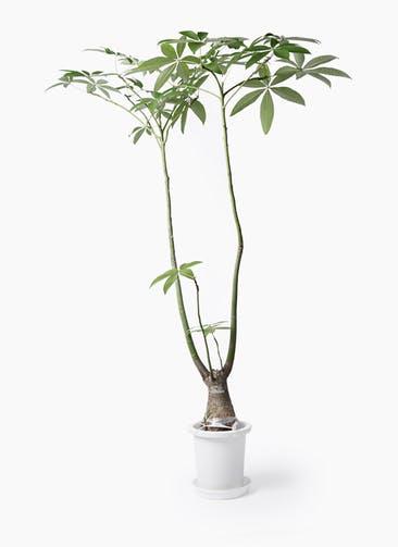 観葉植物 パキラ 8号 パラソル プラスチック鉢