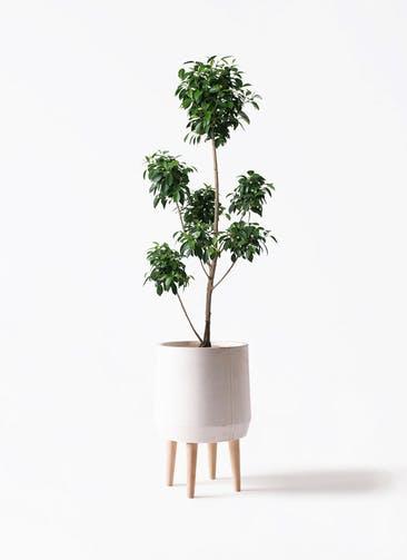 観葉植物 フィカス ナナ 7号 ボサチラシ ファイバークレイ white 付き