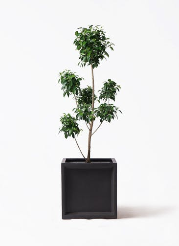 観葉植物 フィカス ナナ 7号 ボサチラシ ブリティッシュキューブ 付き