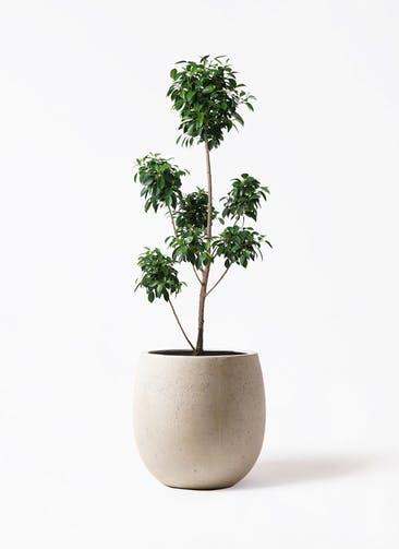 観葉植物 フィカス ナナ 7号 ボサチラシ テラニアス バルーン アンティークホワイト 付き