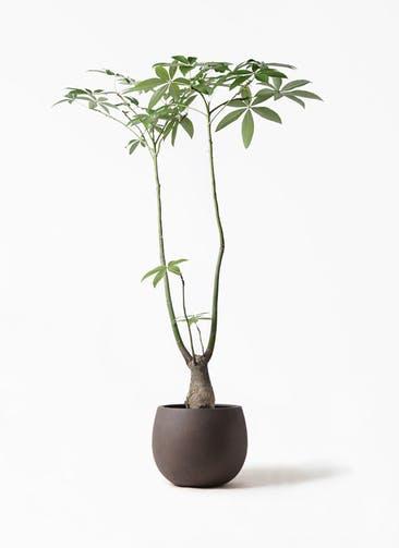 観葉植物 パキラ 8号 パラソル テラニアス ローバルーン アンティークブラウン 付き