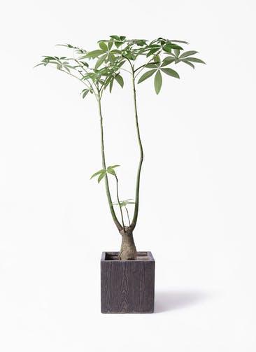 観葉植物 パキラ 8号 パラソル ベータ キューブプランター ウッド 茶 付き