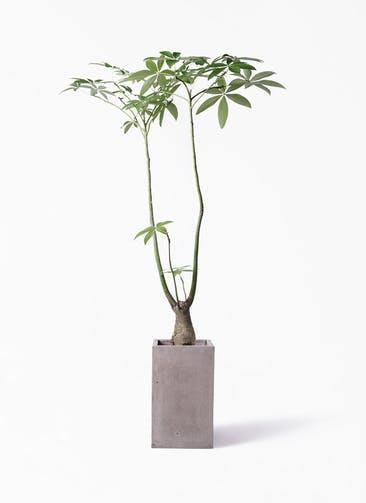 観葉植物 パキラ 8号 パラソル セドナロング グレイ 付き