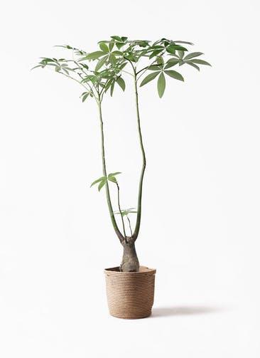 観葉植物 パキラ 8号 パラソル リブバスケットNatural 付き