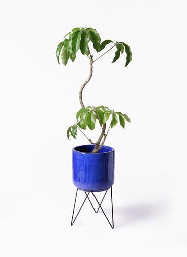 観葉植物 ツピダンサス 8号 曲がり ビトロ エンデカ ブルー アイアンポットスタンド ブラック 付き