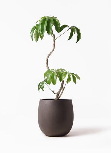 観葉植物 ツピダンサス 8号 曲がり テラニアス バルーン アンティークブラウン 付き
