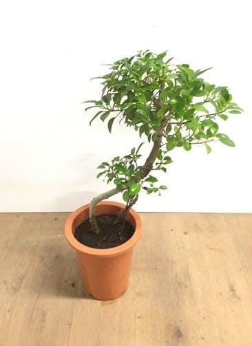 観葉植物 【60cm】ガジュマル 6号 曲り #22585