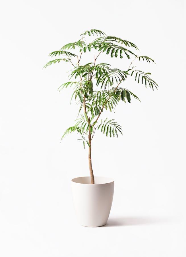 観葉植物 エバーフレッシュ 8号 ボサ造り ラスターポット 付き