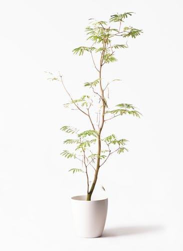 観葉植物 エバーフレッシュ 10号 ボサ造り ラスターポット 付き