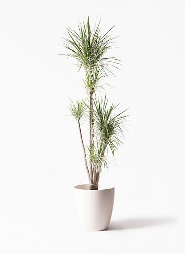 観葉植物 コンシンネ ホワイポリー 10号 ストレート ラスターポット 付き