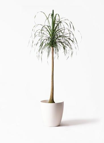 観葉植物 トックリラン ポニーテール 10号 ラスターポット 付き