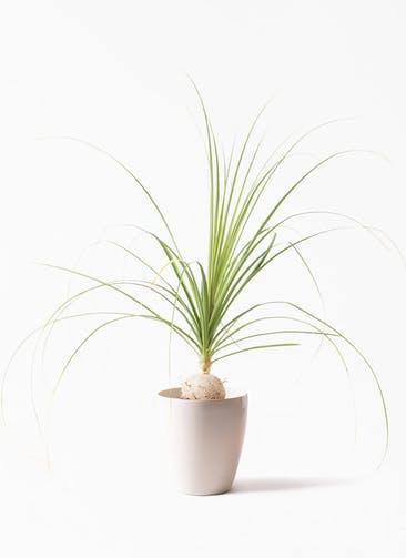 観葉植物 トックリラン 6号 ラスターポット 付き