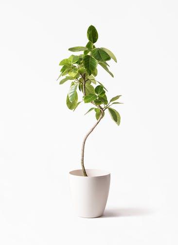 観葉植物 フィカス アルテシーマ 8号 曲り ラスターポット 付き