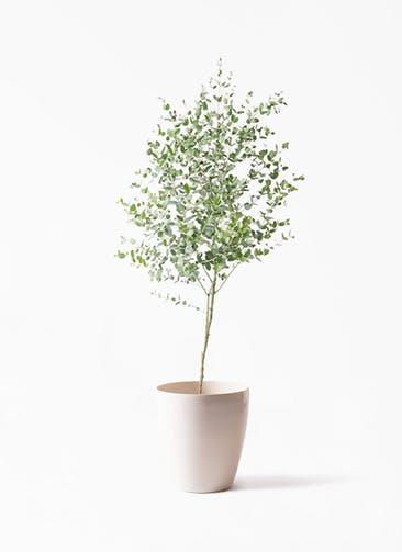 観葉植物 ユーカリ 6号 グニー ラスターポット 付き