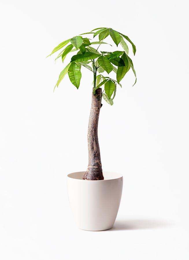 観葉植物 パキラ 8号 朴 ラスターポット 付き