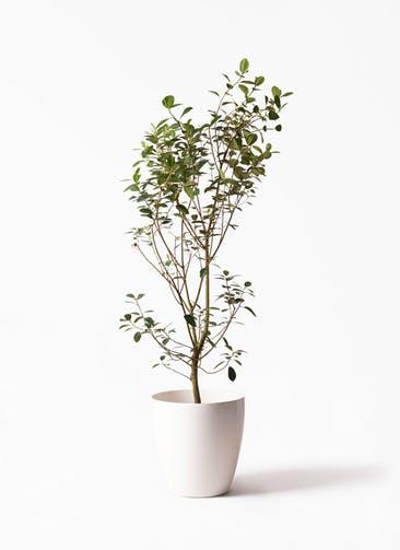 観葉植物 フランスゴムの木 10号 ノーマル ラスターポット 付き