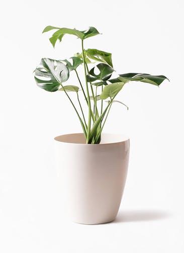 観葉植物 モンステラ 6号 ボサ造り ラスターポット 付き
